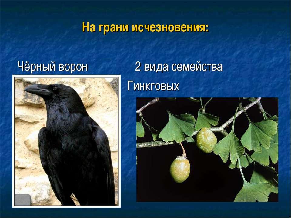 На грани исчезновения: Чёрный ворон 2 вида семейства Гинкговых