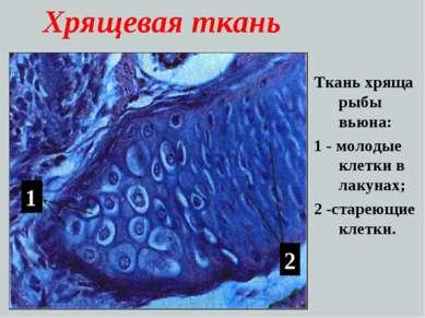 Хрящевая ткань Ткань хряща рыбы вьюна: 1 - молодые клетки в лакунах; 2 -старе...