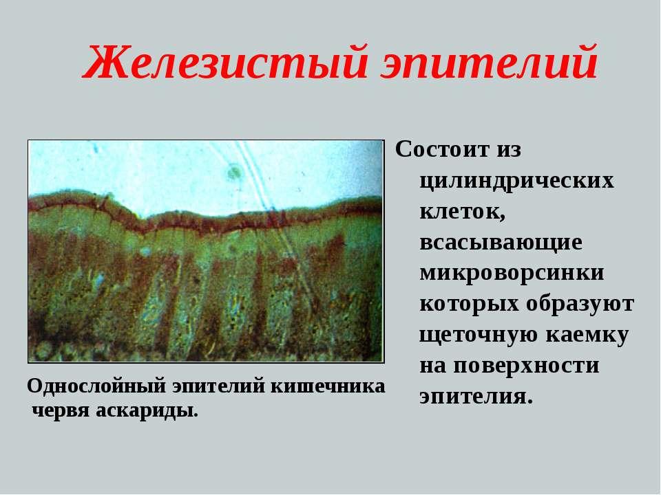 Железистый эпителий Состоит из цилиндрических клеток, всасывающие микроворсин...