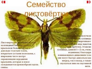 Семейство листовёртки Листовертками называют мелких молевидных бабочек (разма...