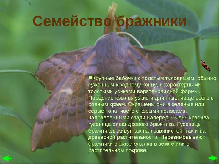 Семейство бражники Крупные бабочки с толстым туловищем, обычно суженным к зад...