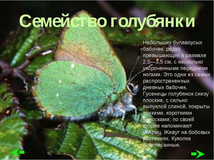 Семейство голубянки Небольших булавоусых бабочек, редко превышающих в размахе...