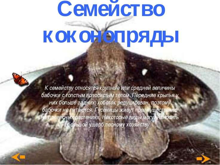 Семейство коконопряды К семейству относятся крупные или средней величины бабо...