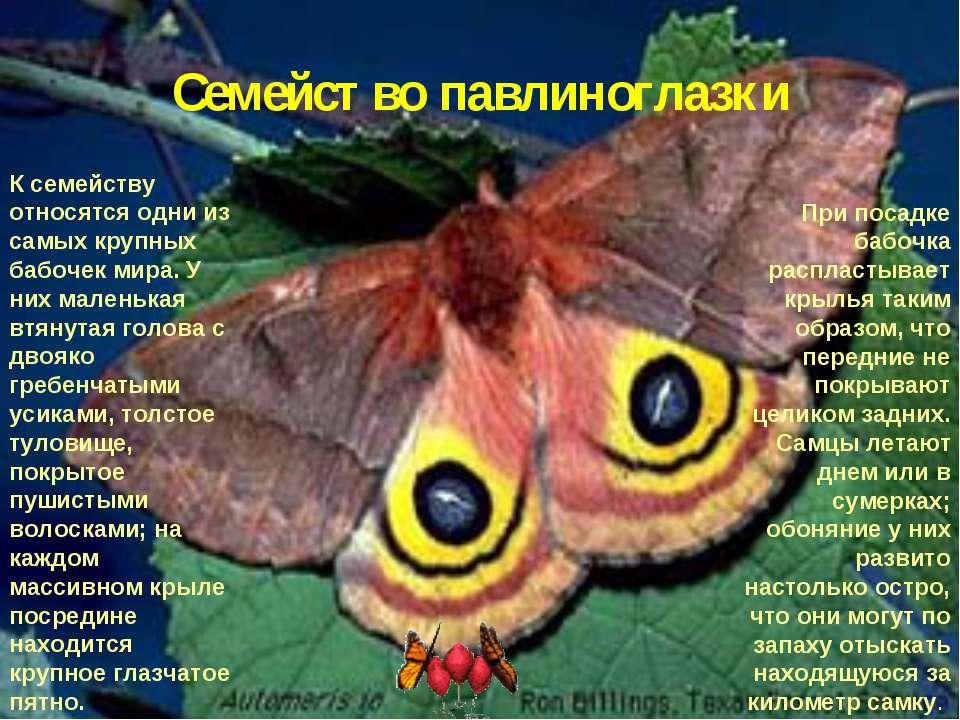 Семейство павлиноглазки К семейству относятся одни из самых крупных бабочек м...