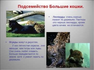 Подсемейство Большие кошки. Леопарды очень хорошо лазают по деревьям. Пантеры...