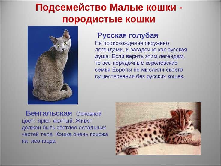 Подсемейство Малые кошки - породистые кошки Русская голубая Еёпроисхождение ...
