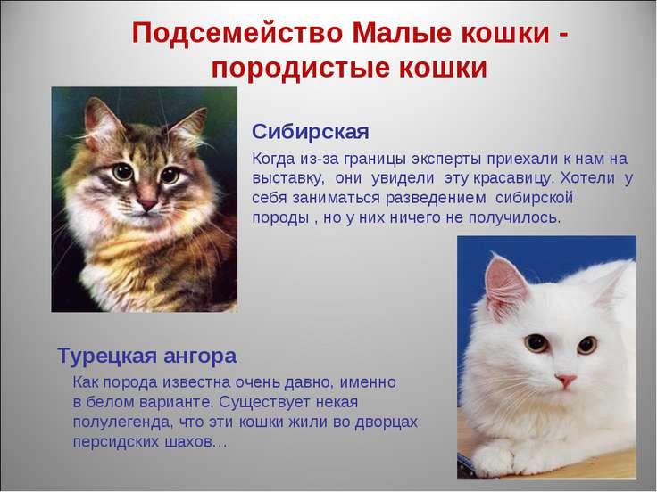 Подсемейство Малые кошки - породистые кошки Сибирская Когда из-за границы экс...