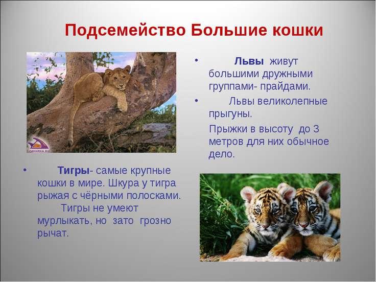 Подсемейство Большие кошки Львы живут большими дружными группами- прайдами. Л...