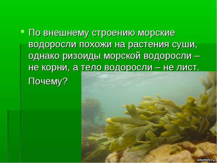 По внешнему строению морские водоросли похожи на растения суши, однако ризоид...