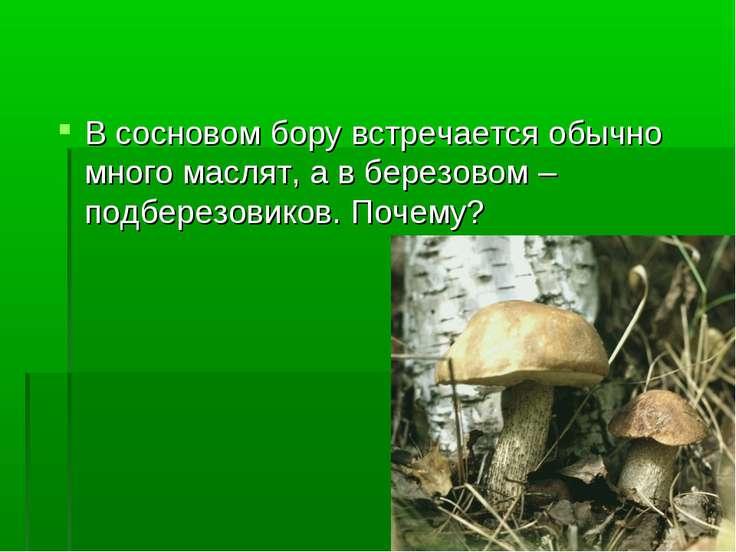 В сосновом бору встречается обычно много маслят, а в березовом – подберезовик...