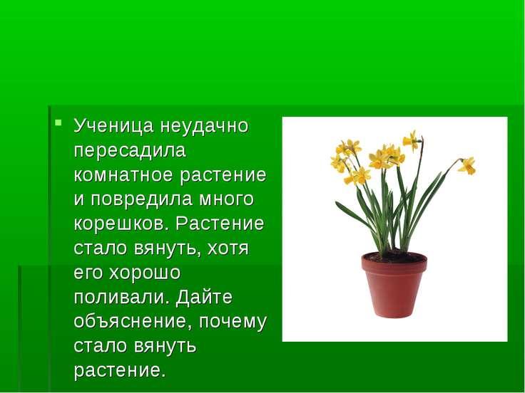 Ученица неудачно пересадила комнатное растение и повредила много корешков. Ра...