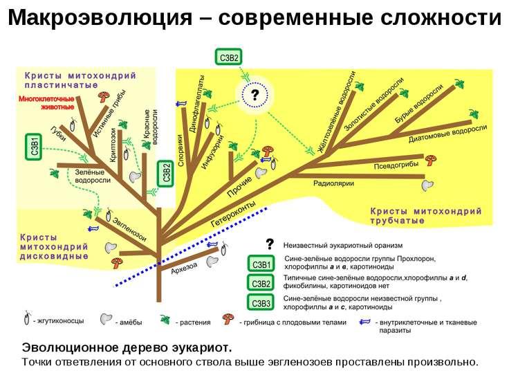 Макроэволюция – современные сложности Эволюционное дерево эукариот. Точки отв...
