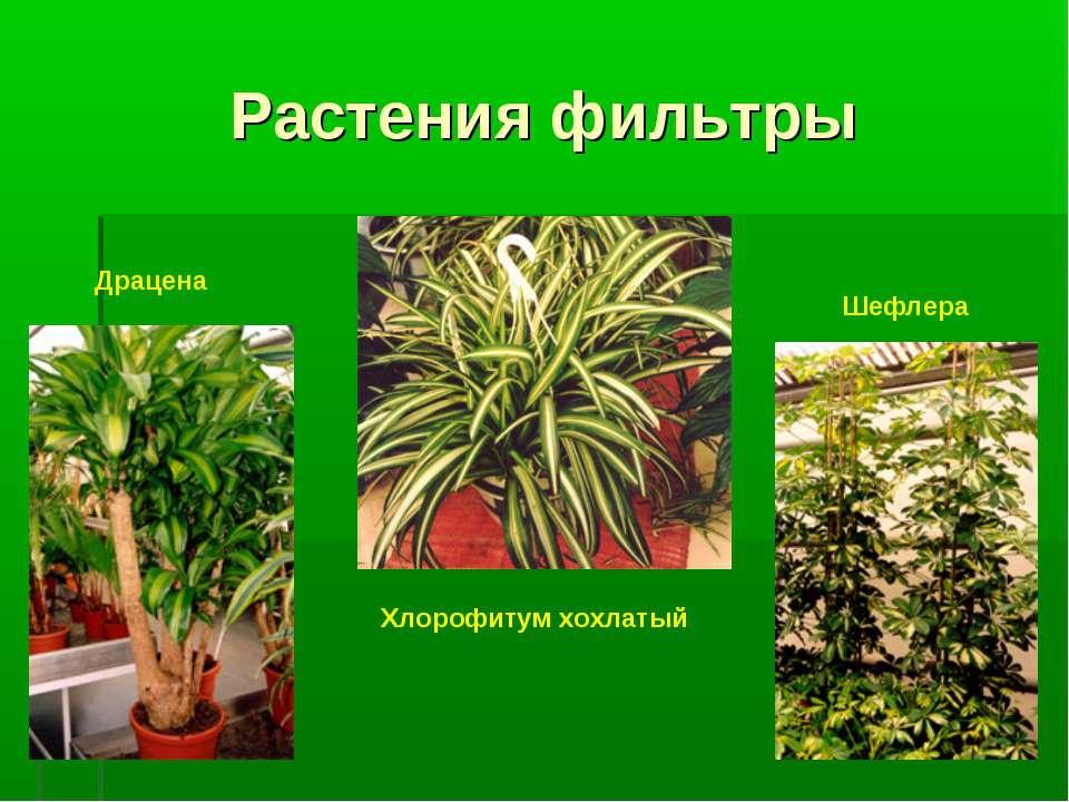 Растения фильтры Драцена Хлорофитум хохлатый Шефлера