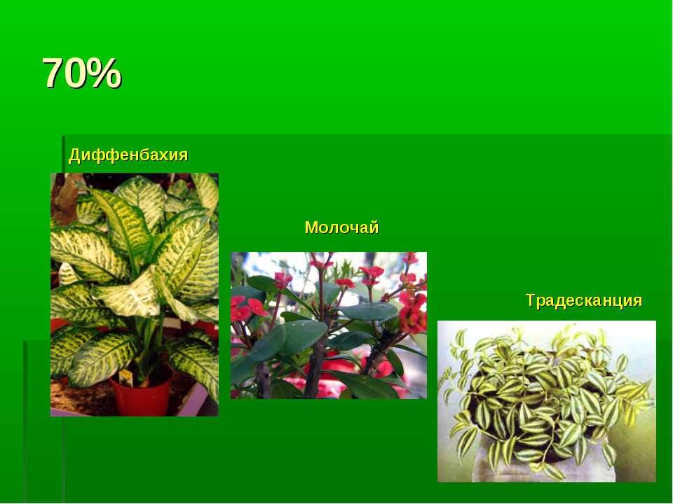 70% Диффенбахия Молочай Традесканция