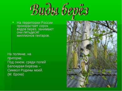 На территории России произрастает сорок видов берёз, занимают они пятьдесят м...