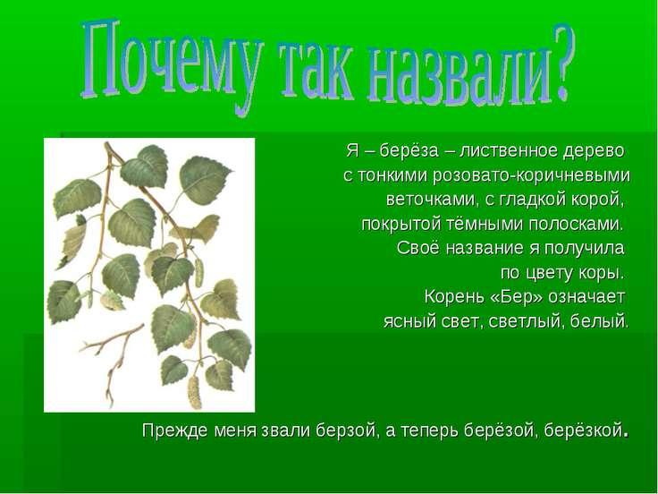 Я – берёза – лиственное дерево с тонкими розовато-коричневыми веточками, с гл...