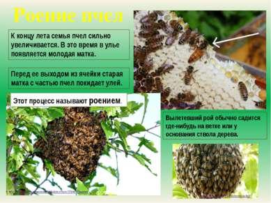 Роение пчел К концу лета семья пчел сильно увеличивается. В это время в улье ...