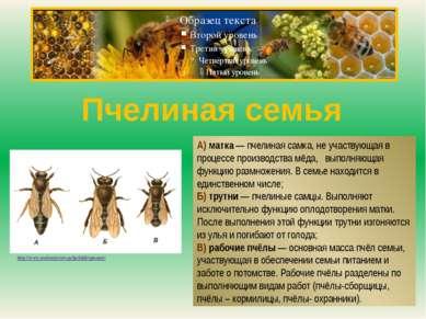 Пчелиная семья А) матка — пчелиная самка, не участвующая в процессе производс...