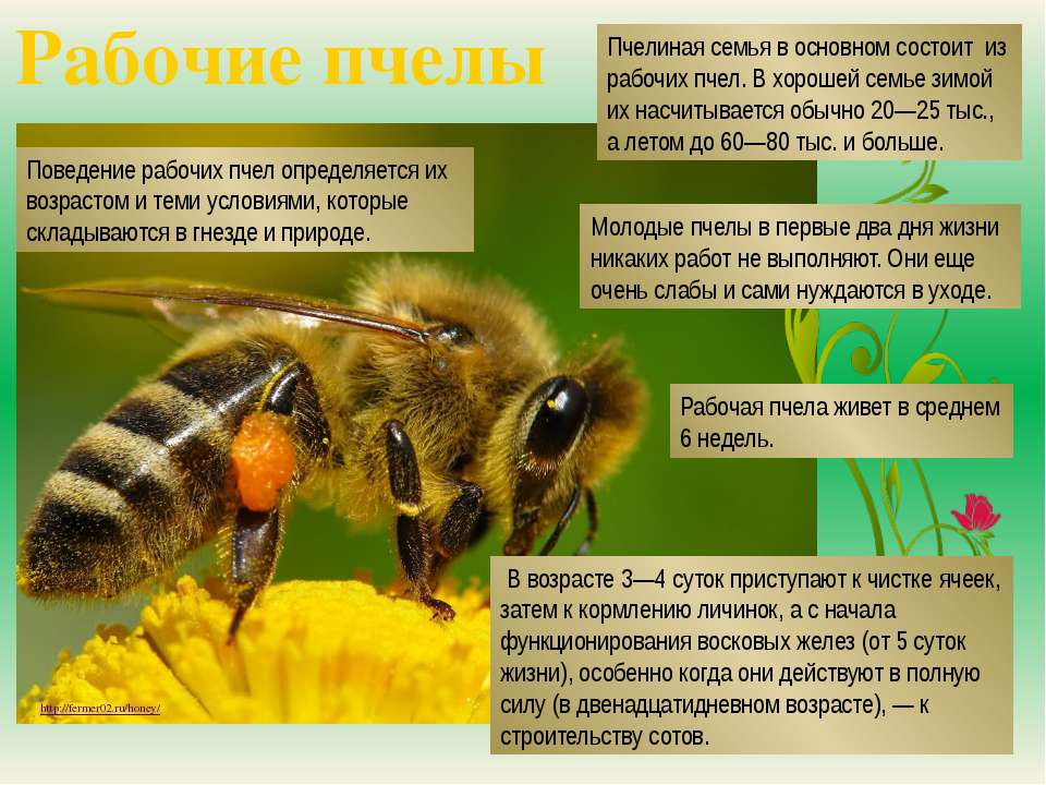Рабочие пчелы http://fermer02.ru/honey/ Пчелиная семья в основном состоит из ...