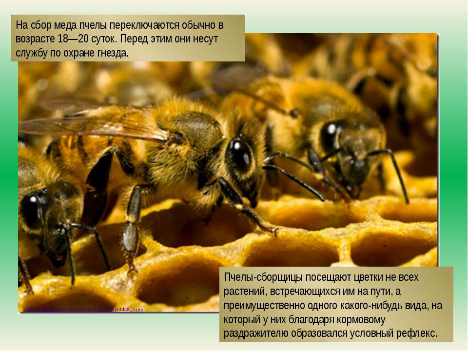 http://lifeglobe.net/media/entry/631/beebiglittle8_5.jpg На сбор меда пчелы п...