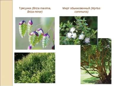 Трясунки (Briza maxima, Briza minor) Мирт обыкновенный (Myrtus communis)