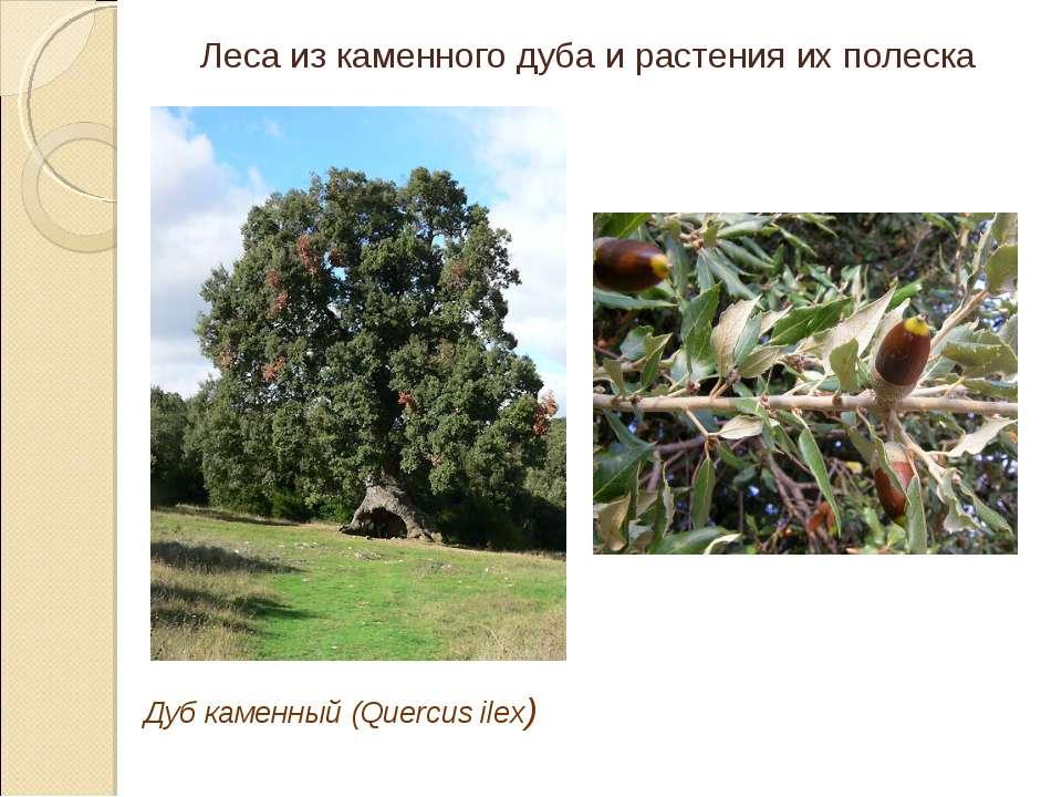Дуб каменный (Quercus ilex) Леса из каменного дуба и растения их полеска