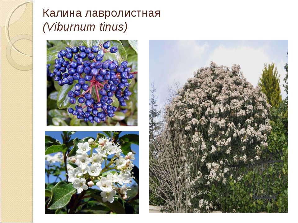 Калина лавролистная (Viburnum tinus)
