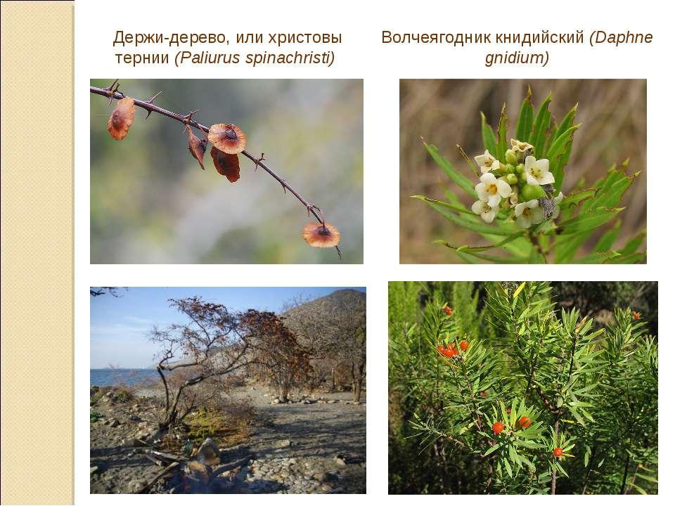 Держи-дерево, или христовы тернии (Paliurus spinachristi) Волчеягодник книдий...