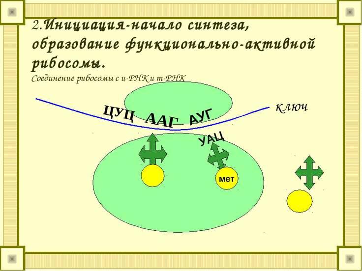 2.Инициация-начало синтеза, образование функционально-активной рибосомы. Соед...