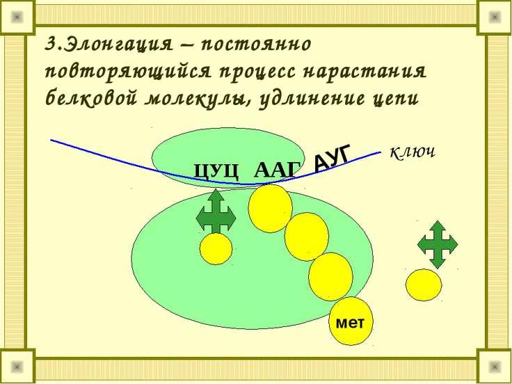 3.Элонгация – постоянно повторяющийся процесс нарастания белковой молекулы, у...
