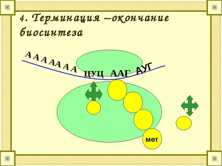 4. Терминация –окончание биосинтеза АУГ ЦУЦ ААГ мет А А А АА А А