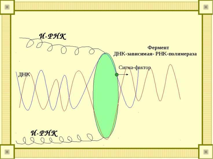 И-РНК И-РНК Фермент ДНК-зависимая- РНК-полимераза ДНК Сигма-фактор