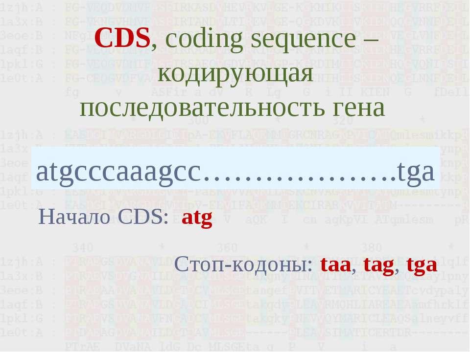 CDS, coding sequence – кодирующая последовательность гена atgcccaaagcc………………....