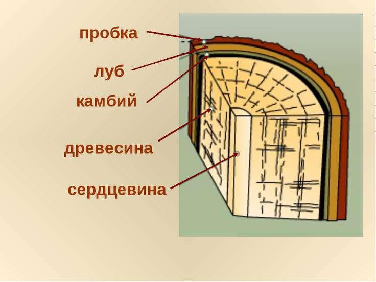 сердцевина древесина камбий луб пробка луб