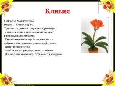 Кливия Семейство Амариллисовые Родина — Южная Африка. Травянистое растение с ...