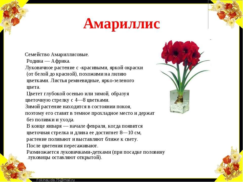 Амариллис Семейство Амариллисовые. Родина — Африка. Луковичное растение с -кр...