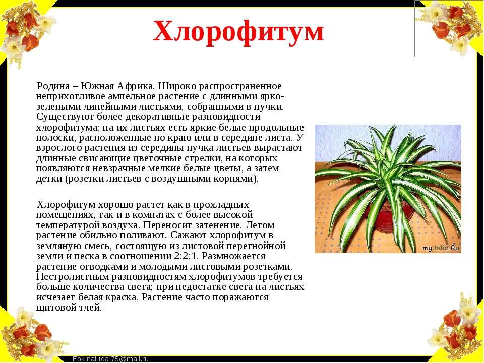 Хлорофитум Родина – Южная Африка. Широко распространенное неприхотливое ампел...