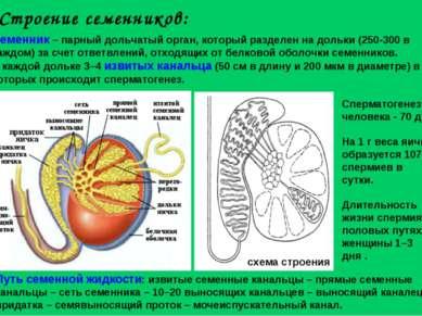 Строение семенников: Семенник – парный дольчатый орган, который разделен на д...