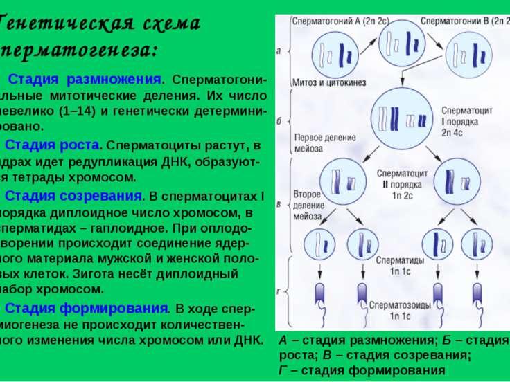 Генетическая схема сперматогенеза: А – стадия размножения; Б – стадия роста; ...
