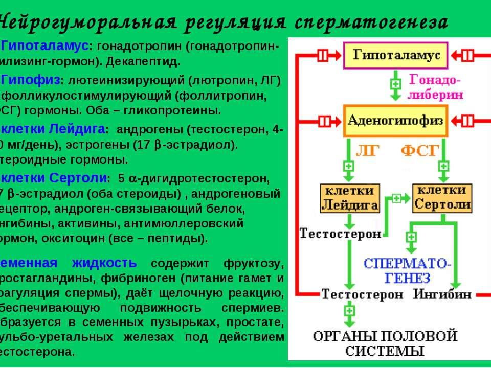 Нейрогуморальная регуляция сперматогенеза Гипоталамус: гонадотропин (гонадотр...
