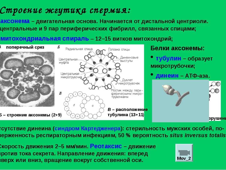 Строение жгутика спермия: аксонема – двигательная основа. Начинается от диста...