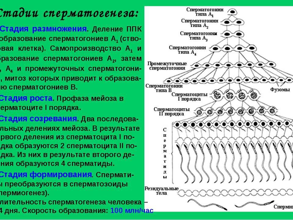 Стадии сперматогенеза: Стадия размножения. Деление ППК и образование спермато...