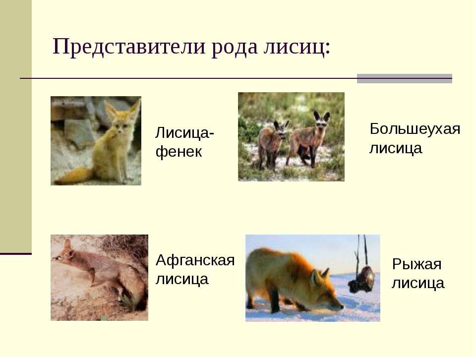 Представители рода лисиц: Лисица- фенек Большеухая лисица Афганская лисица Ры...