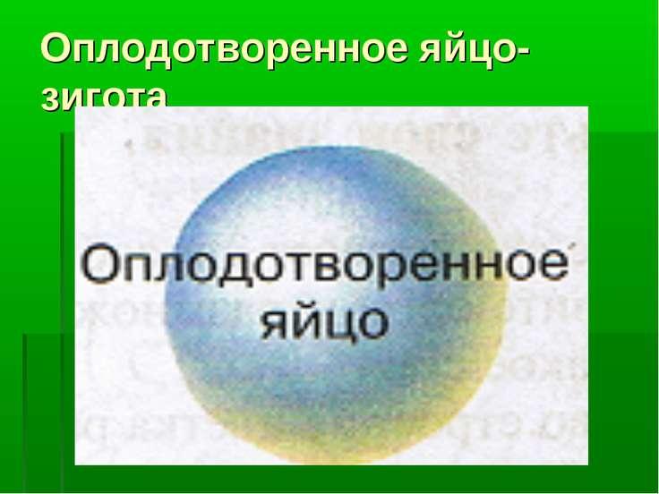Оплодотворенное яйцо- зигота
