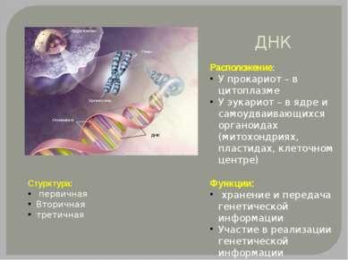 ДНК Расположение: У прокариот – в цитоплазме У эукариот – в ядре и самоудваив...