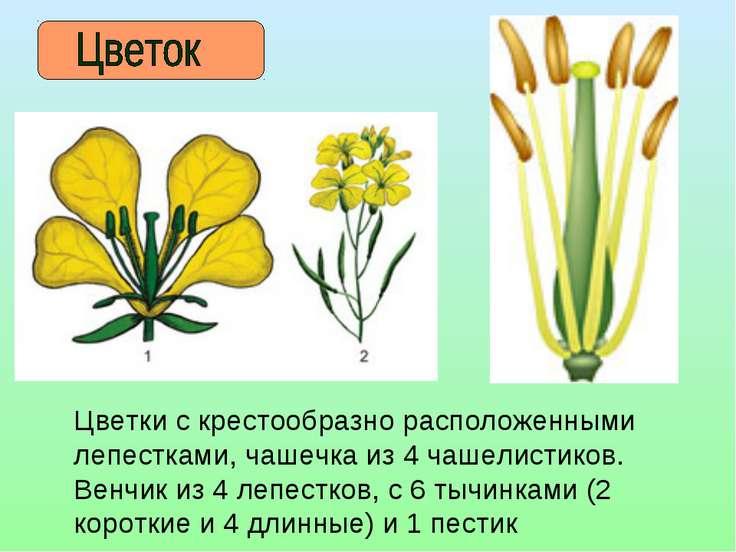 Цветки с крестообразно расположенными лепестками, чашечка из 4 чашелистиков. ...