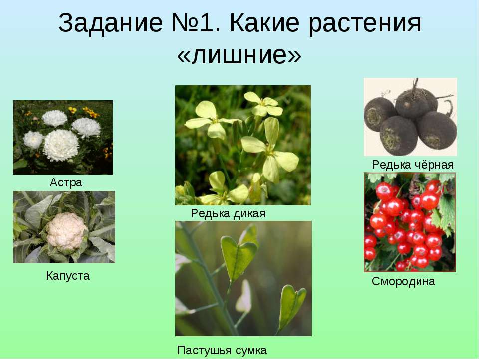 Задание №1. Какие растения «лишние» Редька чёрная Астра Капуста Смородина Ред...