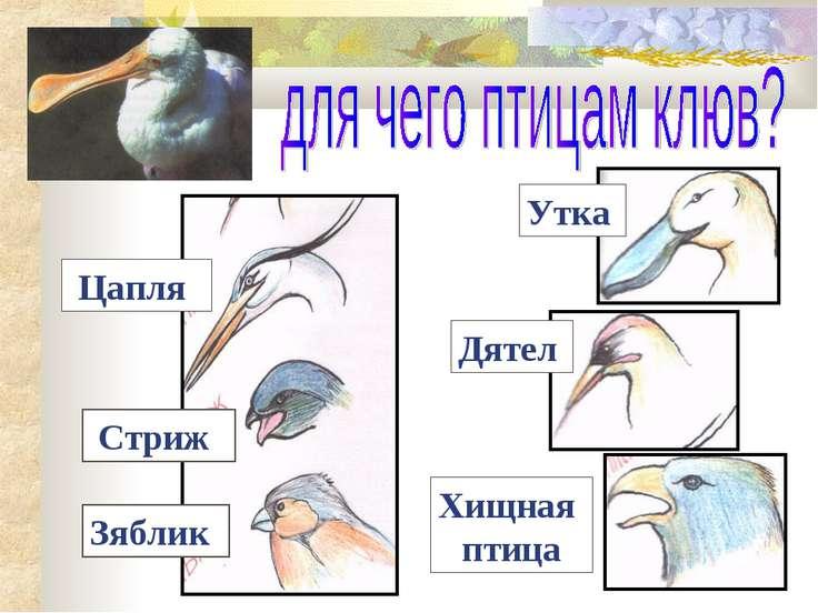 Цапля Стриж Зяблик Утка Дятел Хищная птица
