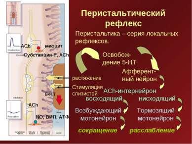 Перистальтический рефлекс миоцит Субстанция Р, ACh растяжение Стимуляция слиз...