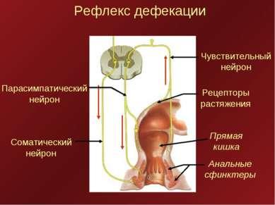 Рефлекс дефекации Соматический нейрон Парасимпатический нейрон Чувствительный...